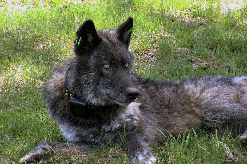 Imnaha wolf pack's alpha male OR-4 is shown in 2011 after being refitted with a working GPS collar in Wallowa County east of Joseph, Ore. (Oregon Department of Fish and Wildlife via AP)