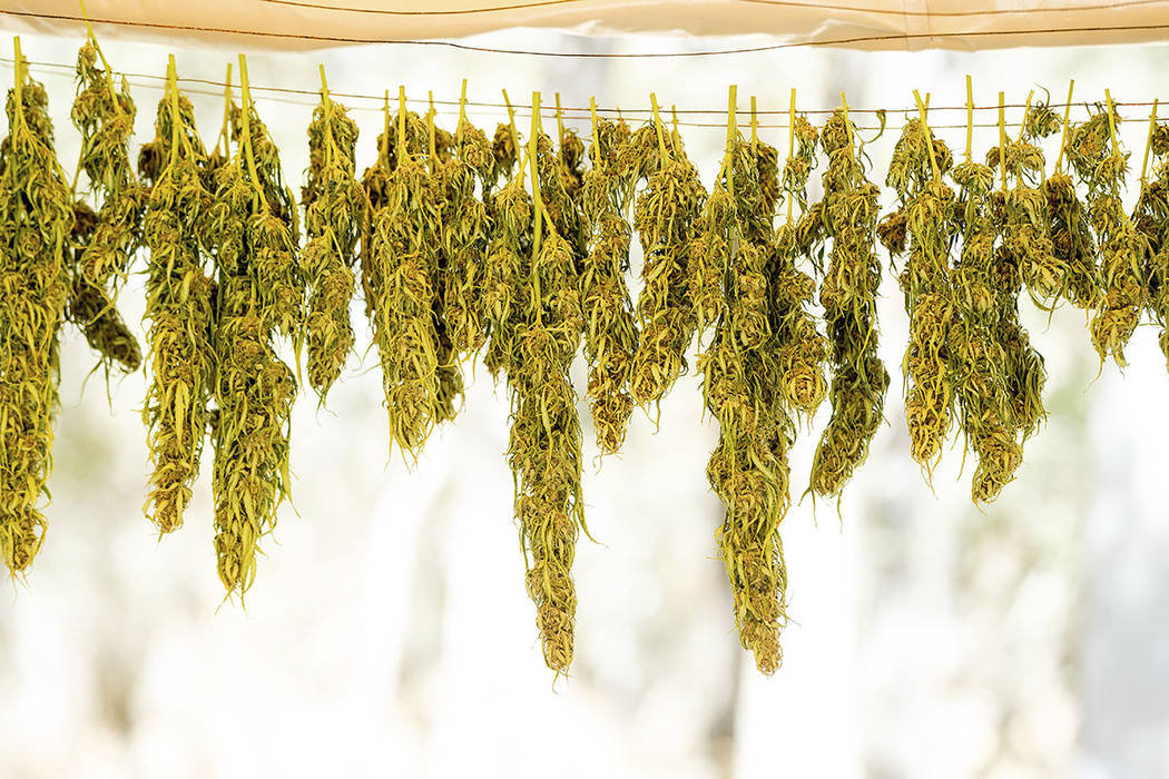 Marijuana hangs on a line while drying at a growing operation in unincorporated Calaveras County. (AP Photo/Noah Berger)