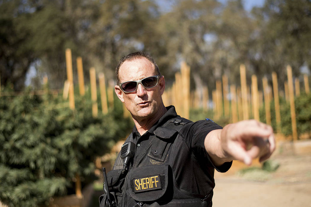 Calaveras County Sheriff Rick DiBasilio gestures while raiding a marijuana growing operation in unincorporated Calaveras County, Calif. (AP Photo/Noah Berger)
