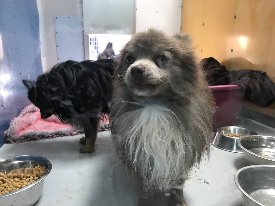 The Animal Foundation in Las Vegas is holding 164 Pomeranians that were found in the back of the truck in Sandy Valley, Thursday, Nov. 30, 2017. (Elaine Wilson Las Vegas Review-Jo ...