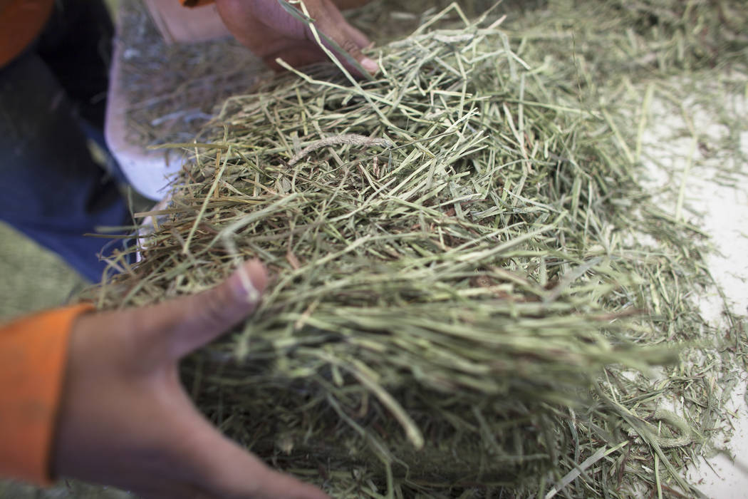 Jose Hernandez pulls apart alfalfa to package on Tuesday, June 6, 2017, in Dyer in Esmeralda county. The county is one of the least populous in the nation. Most of the residents rely on agricultur ...