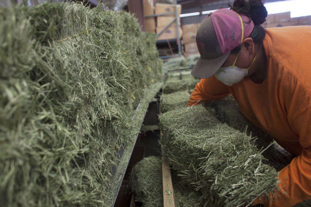 Jose Hernandez picks up a stack of alfalfa to package on Tuesday, June 6, 2017, in Dyer in Esmeralda county. The county is one of the least populous in the nation. Most of the residents rely on ag ...