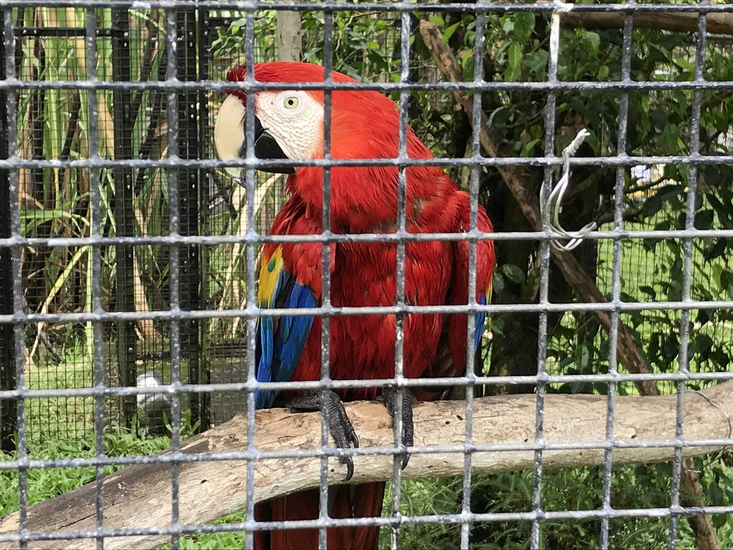 This scarlet macaw was one of dozens of birds on display at the Panaewa Rainforest Zoo in Hilo. (Jeff Mosier)