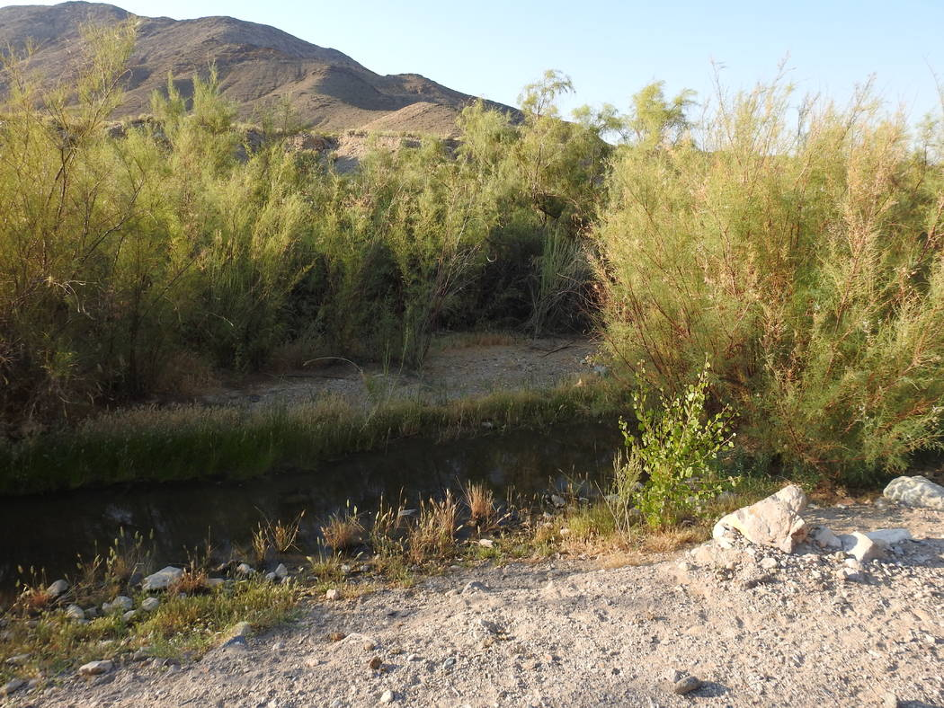 Tamarisk plants grow in and around the Amargosa River just outside the Nye County town of Beatty. The Nature Conservancy recently bought the environmentally sensitive land and plans to remove the  ...