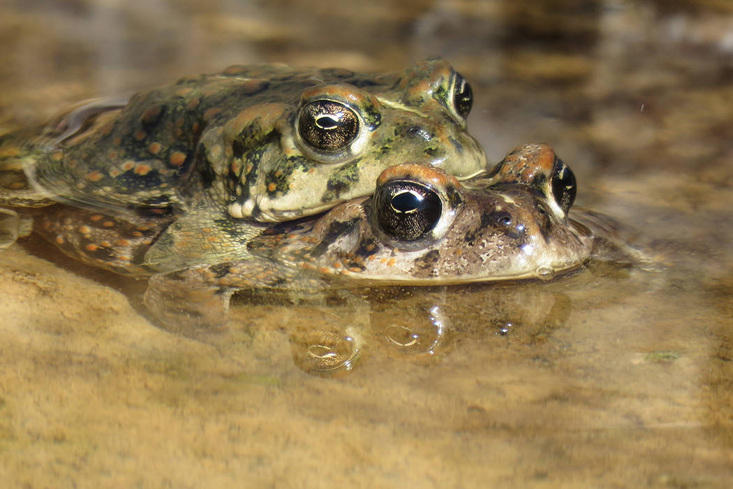 A pair of rare Amargosa toads sit in the water near the Nye County town of Beatty in this undated photo. The Nature Conservancy