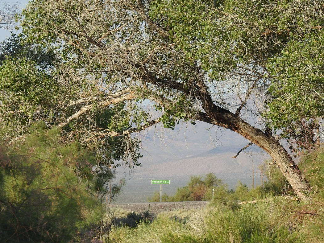 A cottonwood tree frames U.S. Highway 95 just outside the Nye County town of Beatty. The Nature Conservancy recently bought the environmentally sensitive land along the Amargosa River and plans to ...