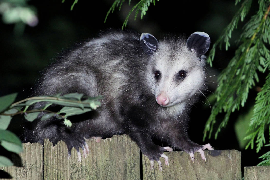 Opossum (Thinkstock)