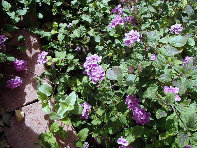 Bob Morris Lantana needs 1 or 2 gallons every time it's watered.