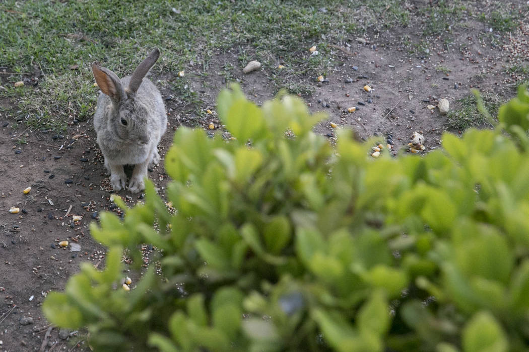 A rabbit grazes in Eva Thomas' backyard in Queensridge, Las Vegas, Thursday, July 27, 2017. In June 2017, the Badlands Golf Course's owners turned the water off, allowing the grass to dry out and  ...