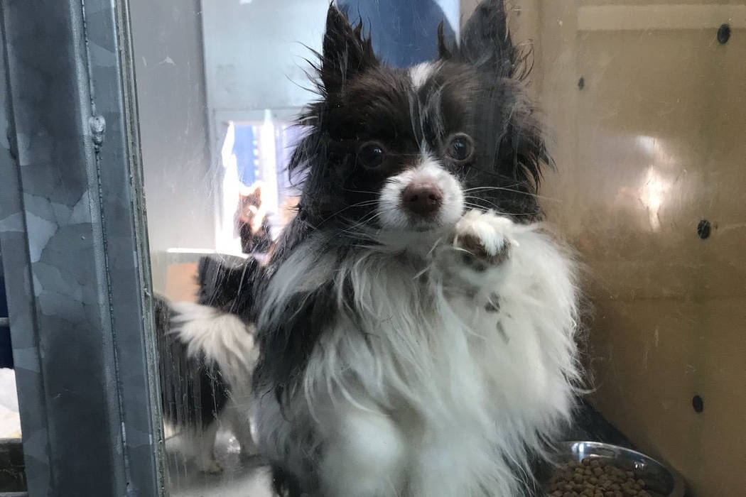 The Animal Foundation in Las Vegas is holding 164 Pomeranians that were found in the back of the truck in Sandy Valley, Thursday, Nov. 30, 2017. (Elaine Wilson Las Vegas Review-Journal)