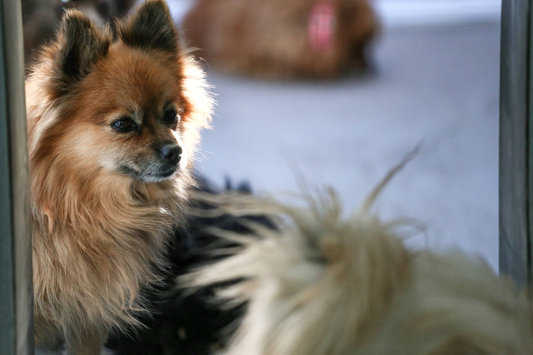 Los pomeranios se refugian en The Animal Foundation en Las Vegas, después de haber sido confiscados de un U-Haul abandonado en el condado de Clark, el jueves 30 de noviembre de 2017. Joel Angel J ...