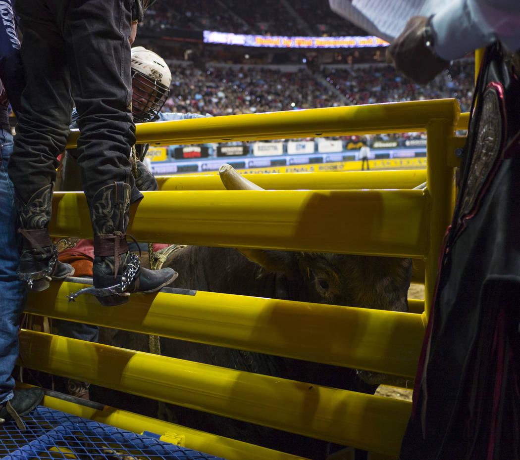 A bull looks on during the second night of the National Finals Rodeo at the Thomas & Mack Center in Las Vegas on Friday, Dec. 8, 2017. Chase Stevens Las Vegas Review-Journal @csstevensphoto
