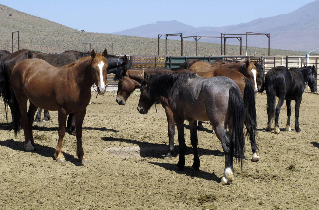 Wild horses, who have been captured from U.S. rangeland, are seen in a holding pen at the BLM's Wild Horse and Burro Center in Palomino Valley near Reno in May. (Scott Sonner/AP)