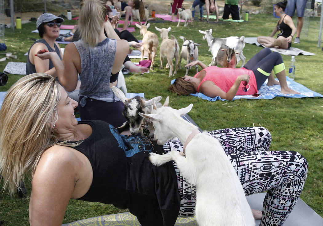 Hillary Smoot takes a goat yoga class at Western Trails Neighborhood Park in Las Vegas on Saturday, July 8, 2017. Bizuayehu Tesfaye/Las Vegas Review-Journal @bizutesfaye