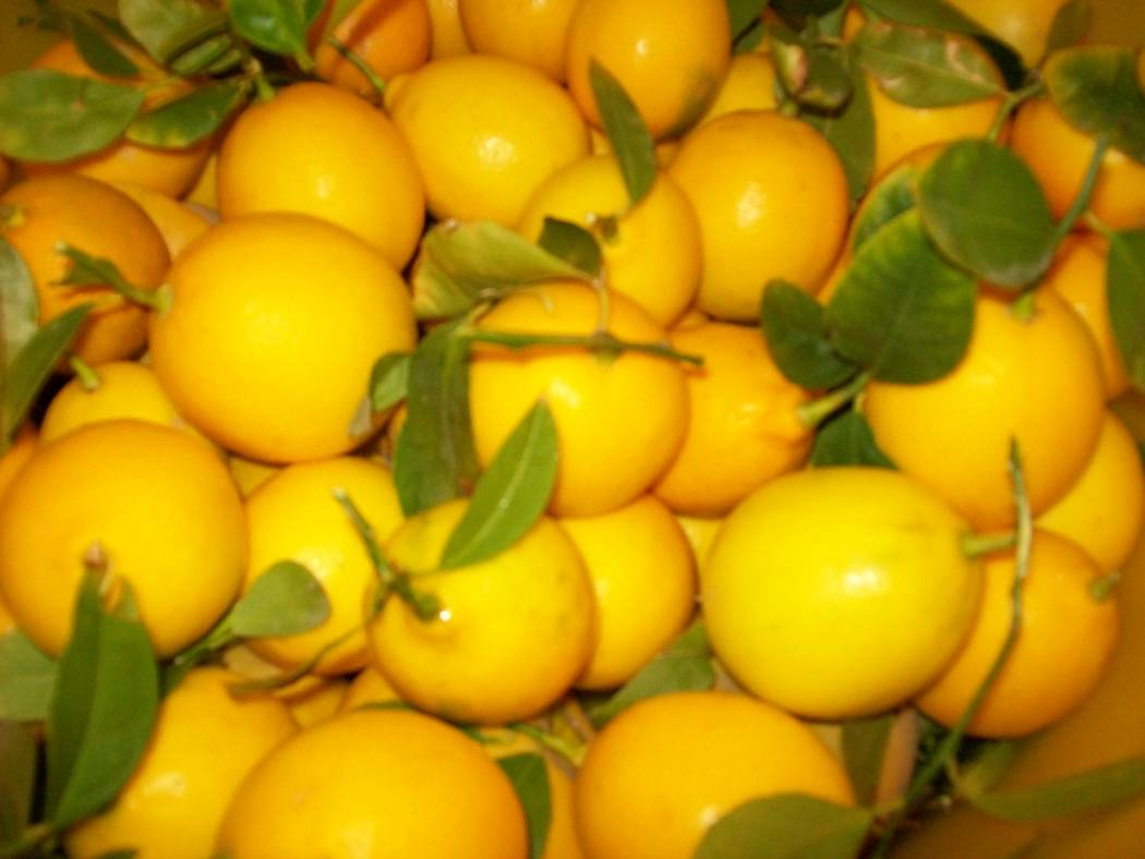 Bob Morris Pick lemons as they start ripening during the winter, usually December in our climate. You can pick them for three to four months.