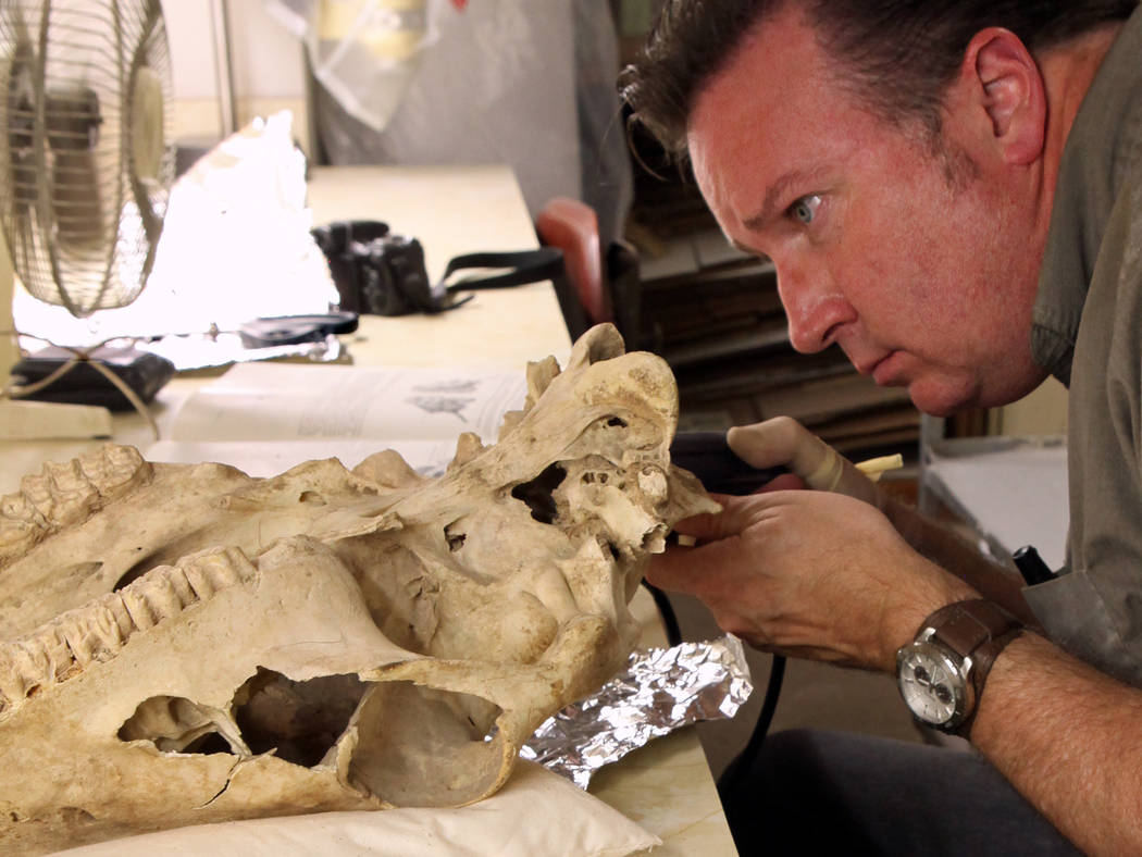 Researcher Eric Scott examines the skull of an extinct ice age horse that was discovered in Gypsum Cave east of Las Vegas in the early 1930s. (Vanessa R. Rhue/Natural History Museum of Los Angeles ...