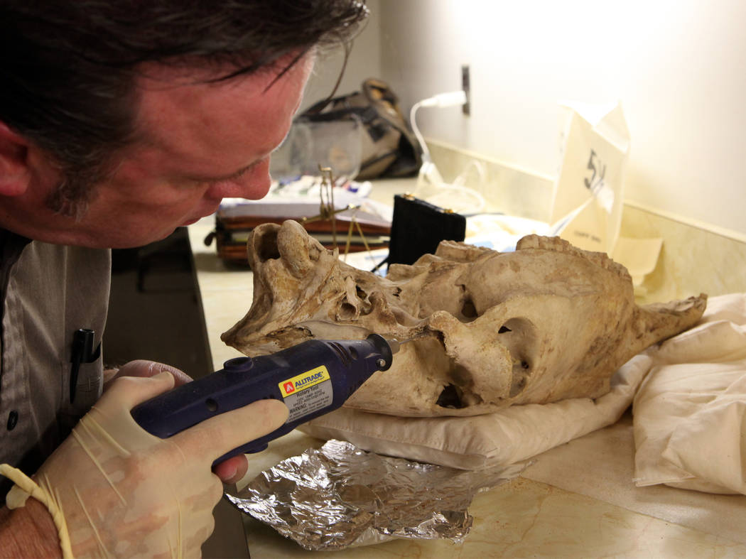 Researcher Eric Scott examines the skull of an extinct ice age horse that was discovered in Gypsum Cave east of Las Vegas in early 1930s. (Vanessa R. Rhue/Natural History Museum of Los Angeles County)
