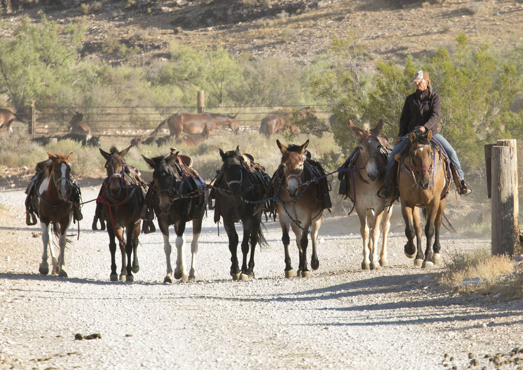 Mary Rose Santoro pulls up string of horses for a two hour horseback riding tour of the Canyon in Red Rock Canyon on Monday, Aug. 28, 2017, in Las Vegas. Bizuayehu Tesfaye Las Vegas Review-Journal ...