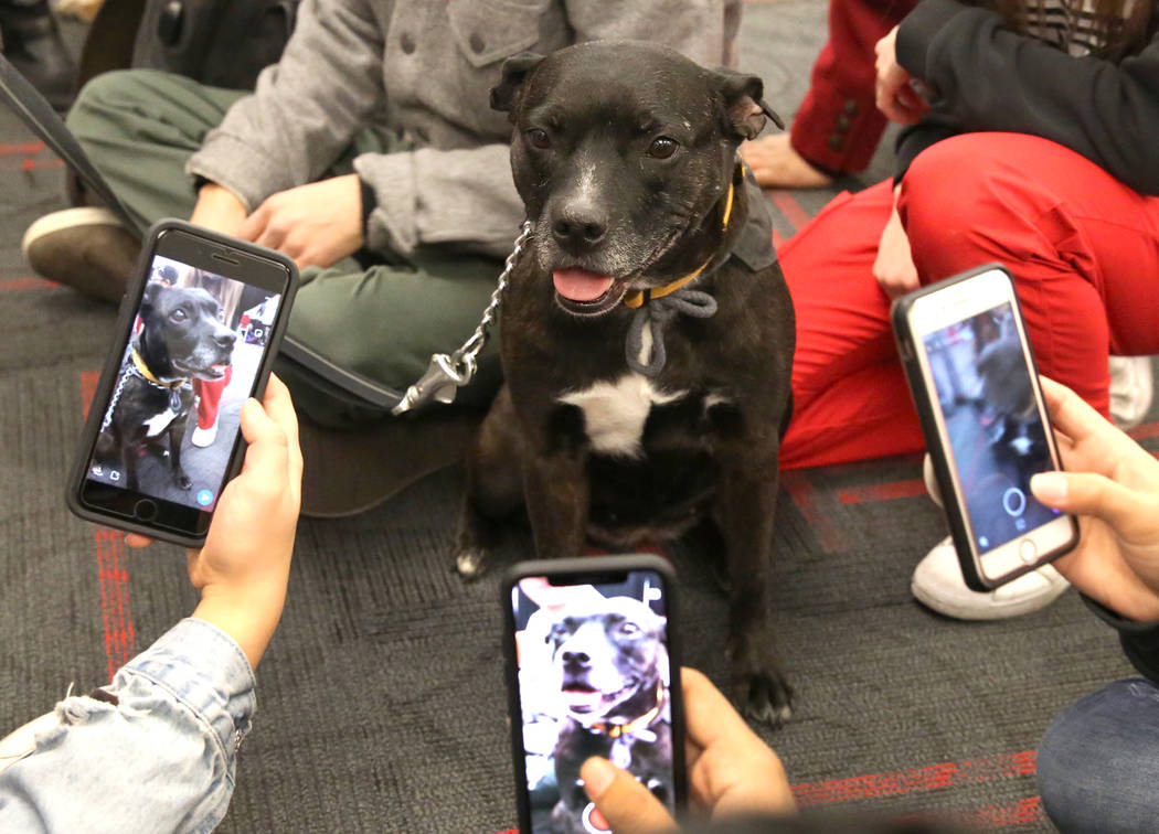 Daizy, a therapy dog from Michael's Angel Paws, poses for a photo for the University of Nevada students at the Student Union building on Tuesday, Dec. 5, 2017, in Las Vegas. Students relieved the  ...