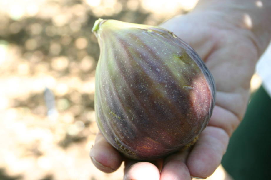 """Bob Morris So-called """"giant"""" fig trees may produce larger fruit, but smaller fruit gnerally has more flavor."""