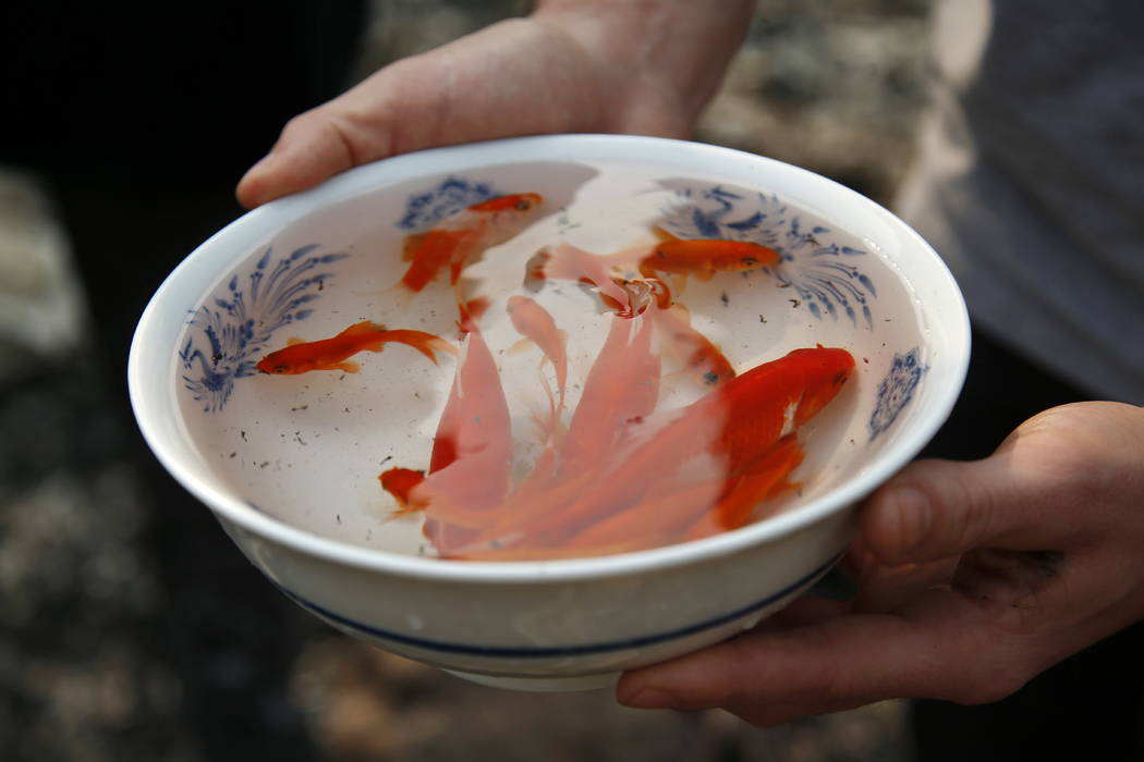 Logan Hertel holds a bowl full of goldfish he and his friends rescued from a destroyed home on Parker Hill Court in Santa Rosa, Calif., in October. (Nhat V. Meyer/San Jose Mercury News via AP)