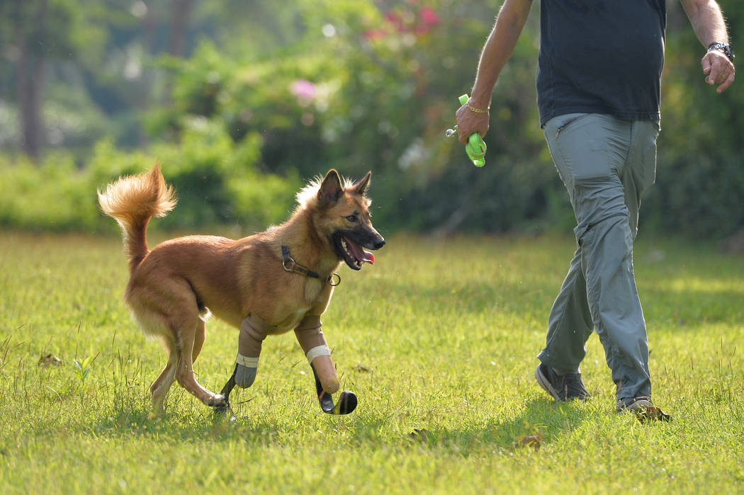 """Amputee dog named """"Cola"""" runs using carbon-fiber prosthetic blades made for it by the Soi Dog Foundation in Phuket, Thailand December 16, 2017. (REUTERS)"""