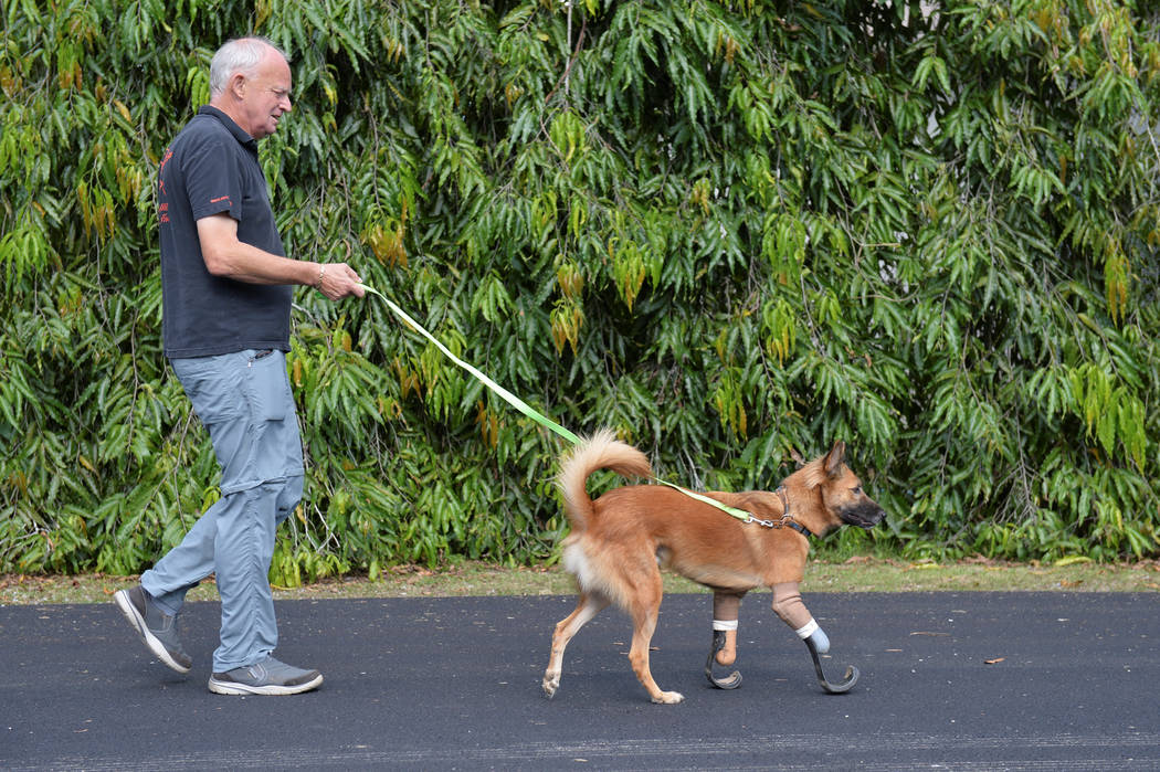 """Amputee dog named """"Cola"""" using carbon-fiber prosthetic blades made for it walks with John Dalley from the Soi Dog Foundation in Phuket, Thailand December 16, 2017. (REUTERS)"""