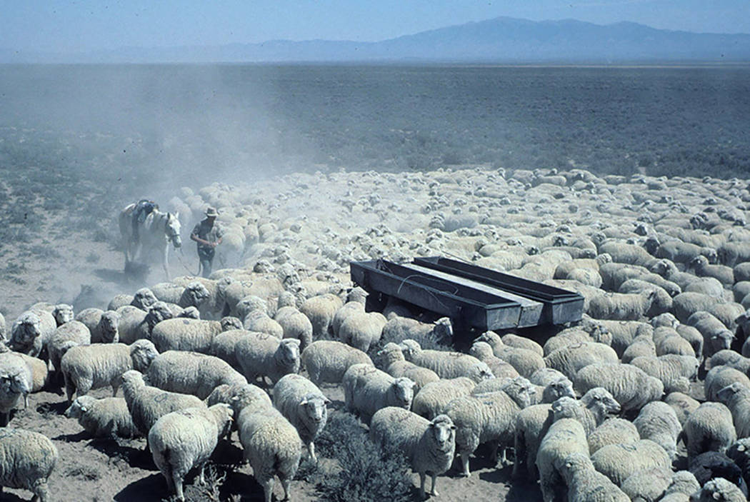 Basque sheep herders deliver water to flock. (Photographer Richard H. Lane UNR Basque photography collection)