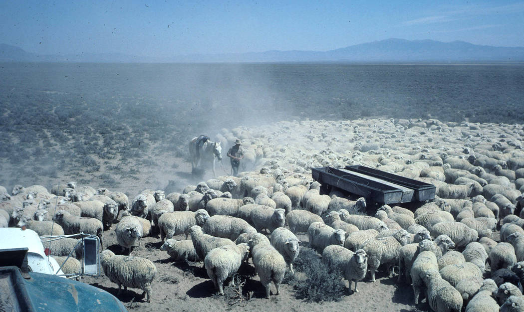 Photographer Richard H. Lane UNR Basque photography collection Jon Bilbao Basque Library, University of Nevada-Reno Libraries Basque Sheep herders delivering water to flock.