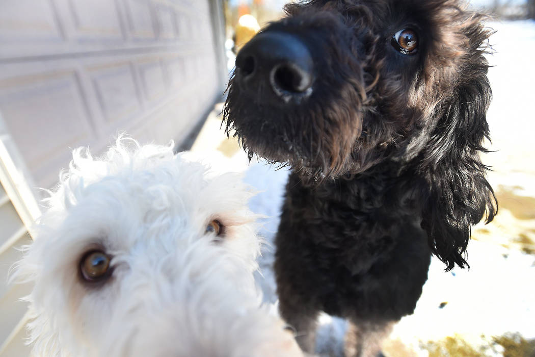 Labradoodles Eva, bottom, and Adam owned by Susan and Lonnie Chester are photographed at their home near Vineyard Lake in Norvell Township, Mich., on Thursday, Jan. 18, 2017. (J. Scott Park /Jacks ...