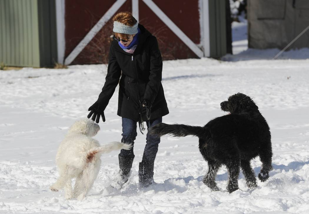 Labradoodles Eva and Adam play with owner Susan Chester at her home near Vineyard Lake in Norvell Township, Mich., on Thursday, Jan. 18, 2017. (J. Scott Park /Jackson Citizen Patriot via AP)