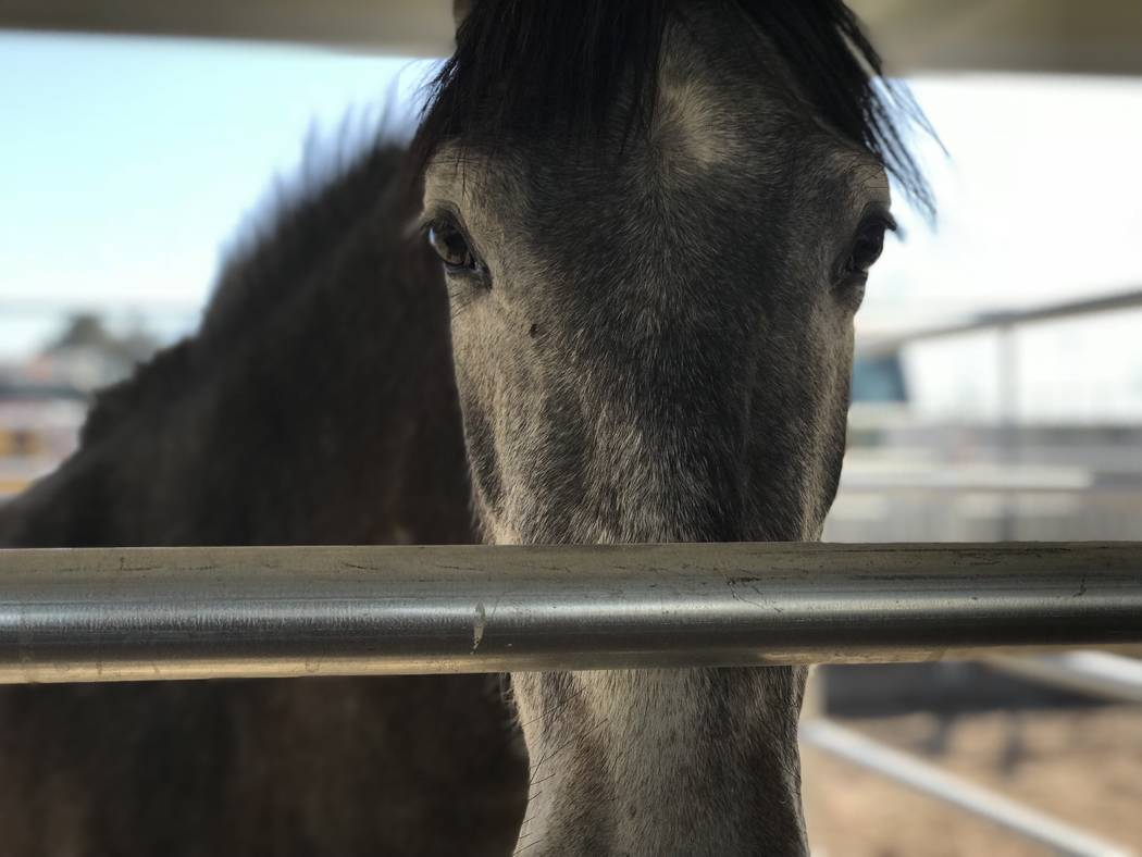 Rescued horses at Horseman's Park in Las Vegas on Monday, Jan. 22, 2018. Thirteen horses and hundreds of other animals were seized from a Las Vegas home by Animal Control. Elaine Wilson Las ...