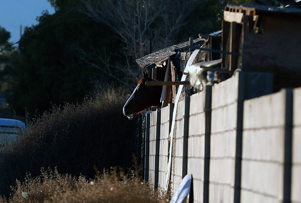 A horse's head peeks out of its stall while officials work to evacuate the rest of the animals from a property, which was involved in an investigation regarding neglected animals, in Las Vegas, Su ...