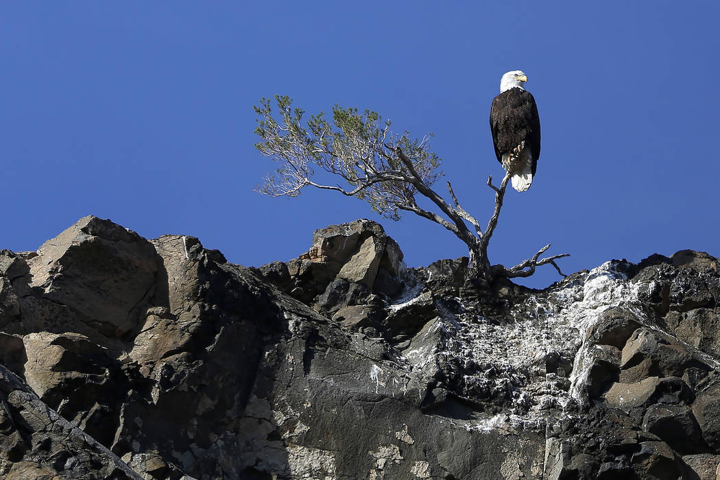 A bald eagle perches on a small tree in Lake Mead National Recreation Area, Wednesday, Jan. 17, 2018. Survey teams set out at dawn to survey the local bald eagle population as part of a national e ...