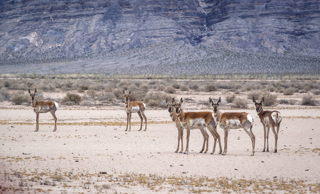 Pronghorn stop and look during a range tour on the Nellis Air Force Base on Sunday, May 21, 2017. Patrick Connolly Las Vegas Review-Journal @PConnPie