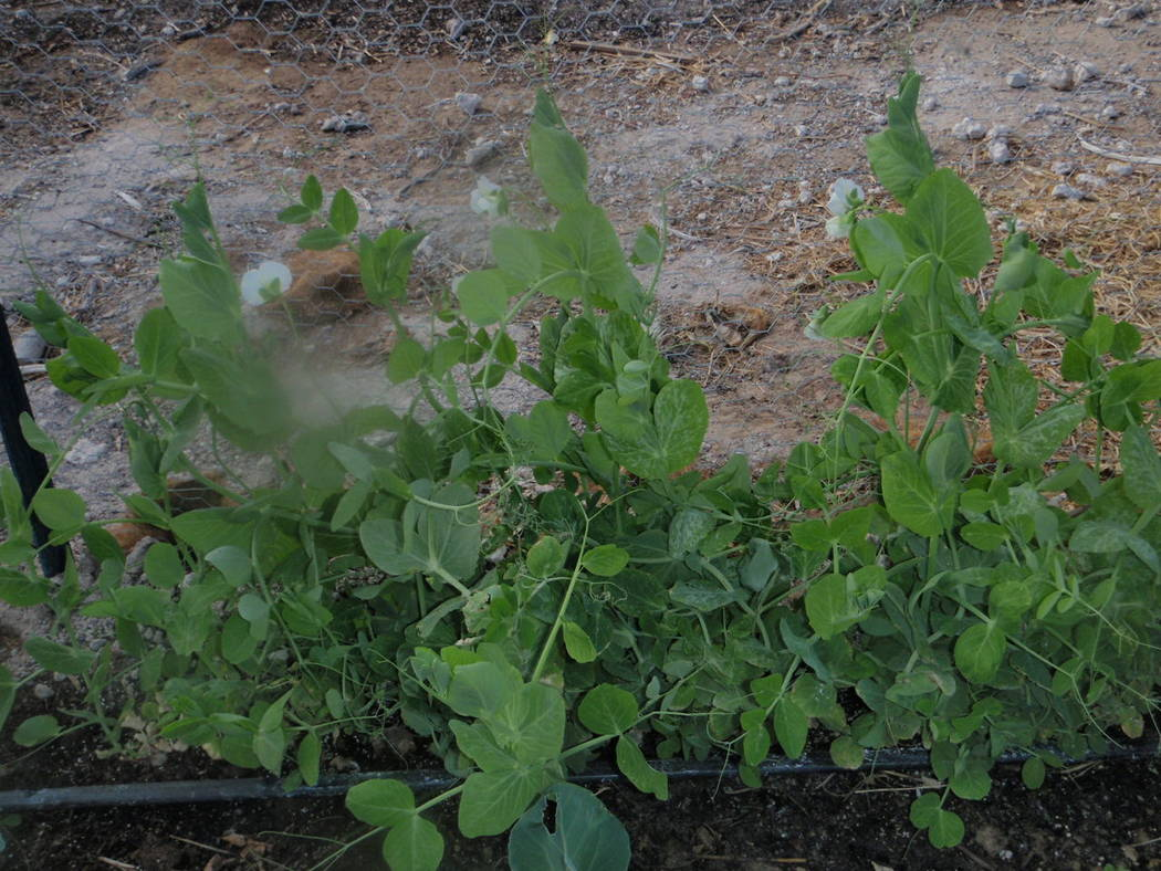 Bob Morris Snow pea pods grow quickly and are ready for harvest within a week of blooming.