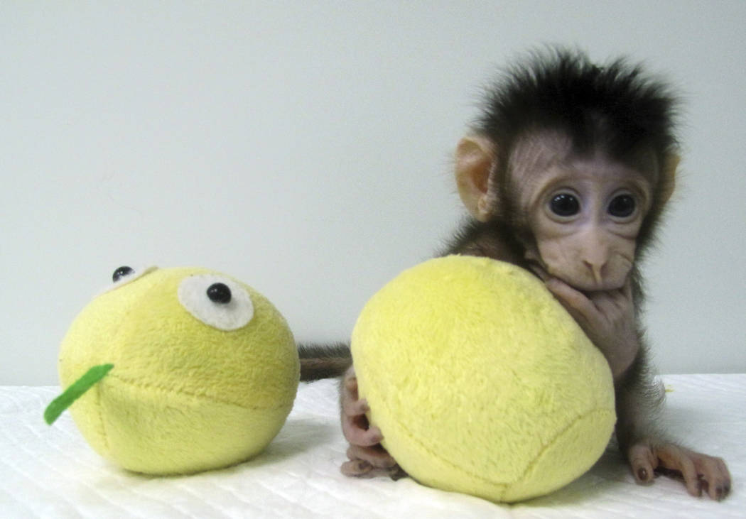 Cloned monkey Hua Hua sits with a fabric toy. (Sun Qiang and Poo Muming/Chinese Academy of Sciences via AP)