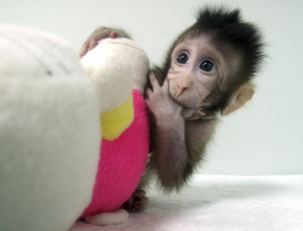 Cloned monkey Zhong Zhong sits with a fabric toy. (Sun Qiang and Poo Muming/Chinese Academy of Sciences via AP)