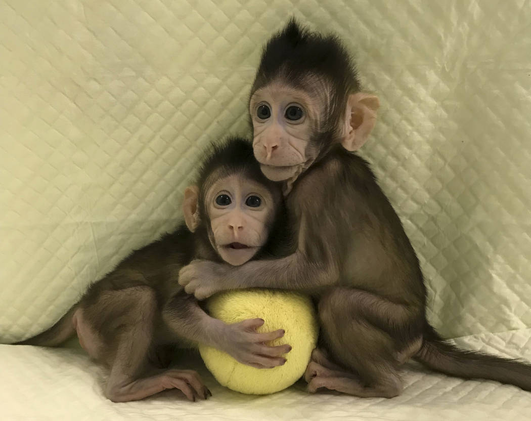 Cloned monkeys Zhong Zhong and Hua Hua sit together with a fabric toy. (Sun Qiang and Poo Muming/Chinese Academy of Sciences via AP)
