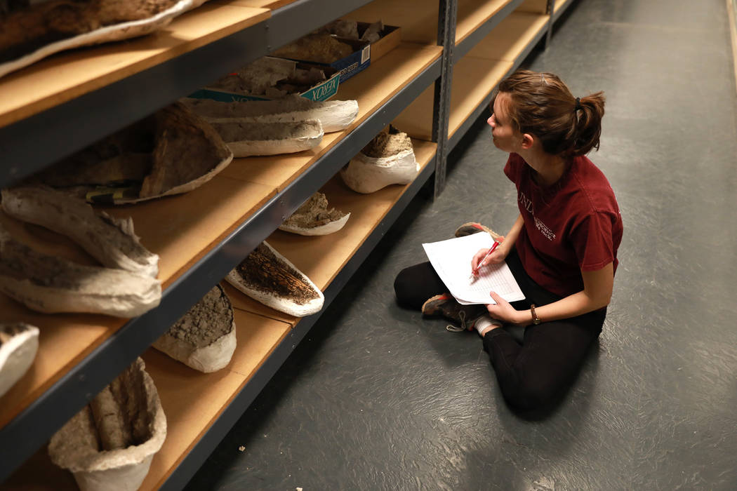 Susie Hertfelder, 24, helps document the ice age fossils, which were relocated from the San Bernardino County Museum, at the Las Vegas Natural History Museum in Las Vegas, Sunday, Jan. 28, 2018. T ...