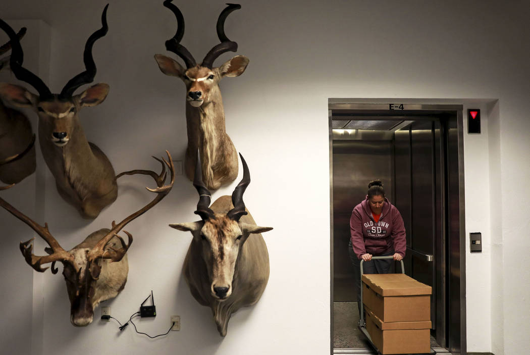 Erin Eichenberg, 36, helps store ice age fossils, which were relocated from the San Bernardino County Museum, at the Las Vegas Natural History Museum in Las Vegas, Sunday, Jan. 28, 2018. The feder ...