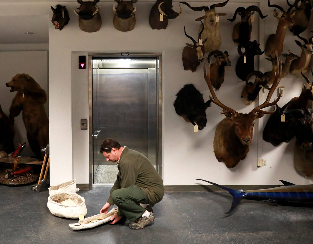 Drew Clark prepares to store ice age fossils, which were relocated from the San Bernardino County Museum, at the Las Vegas Natural History Museum in Las Vegas, Sunday, Jan. 28, 2018. The federally ...