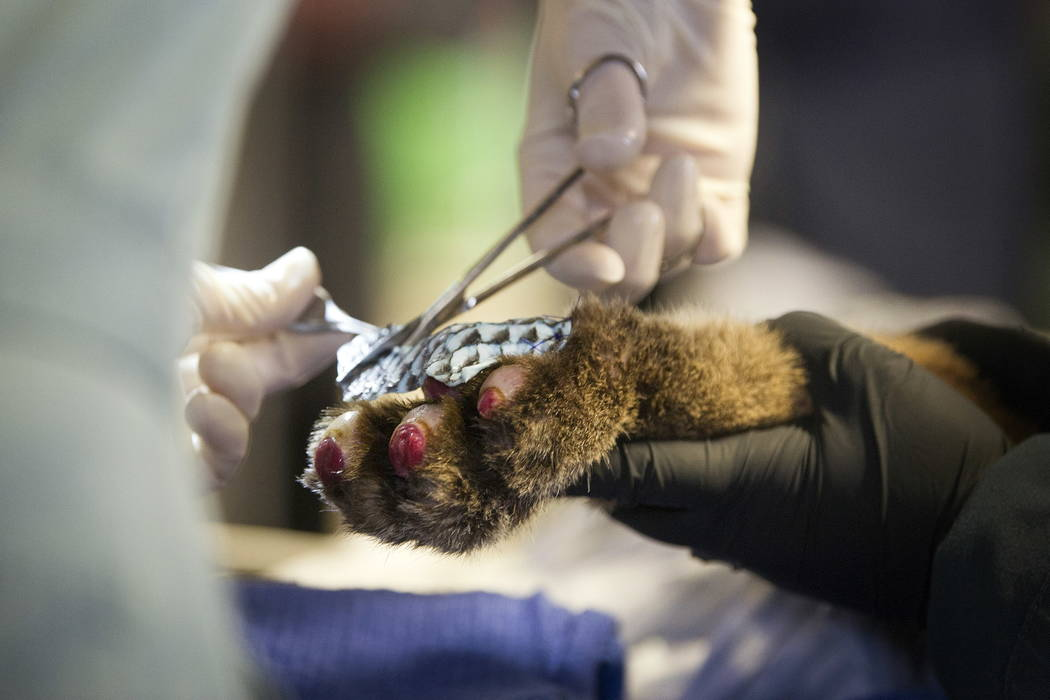 Workers operate on an injured 5-month-old mountain lion cub at the CDFW facility in Rancho Cordova, Calif. (Karin Higgins/UC Davis via AP)