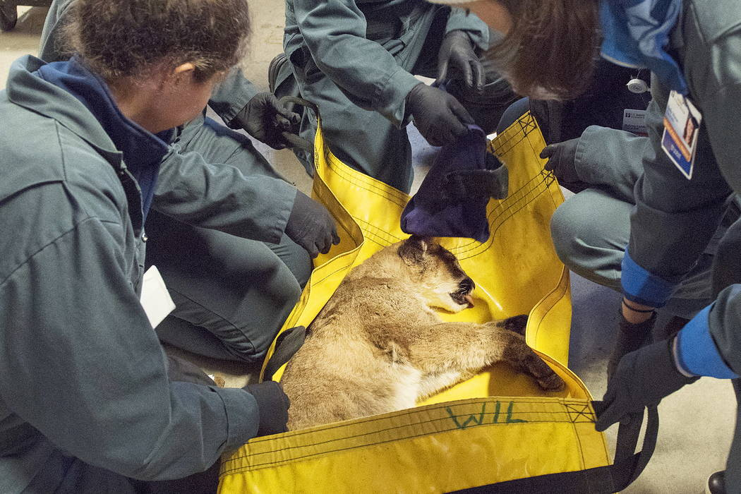Workers tend to an injured 5-month-old mountain lion cub at the CDFW facility in Rancho Cordova, Calif. (Karin Higgins/UC Davis via AP)