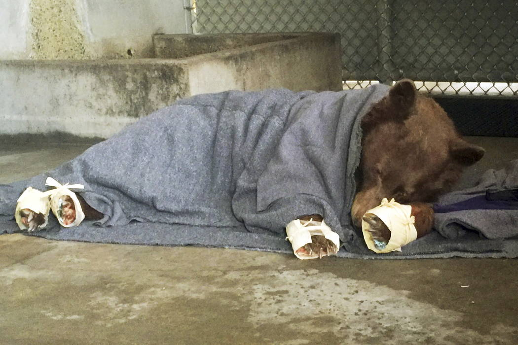 Bears burned in California wildfires get holistic treatment for pain