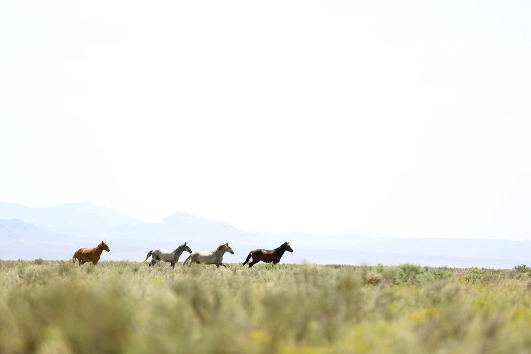 Wild horses run on the Great Basin Ranch in Dry Lake Valley, Monday, Aug. 7, 2017. (Elizabeth Brumley Las Vegas Review-Journal)