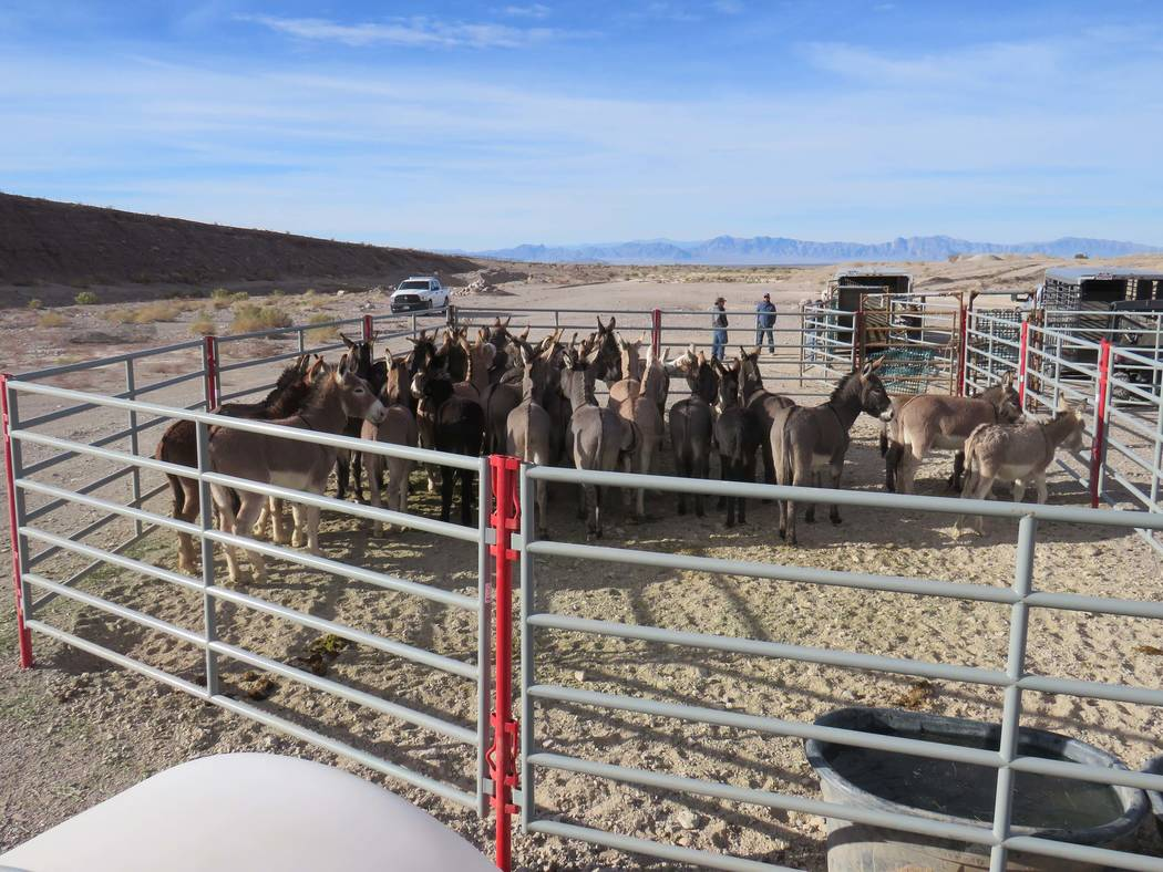 Wild burros stand in a corral at the north end of Pahrump on Dec. 22 after being trapped during a roundup by the Bureau of Land Management. Tabitha Romero Bureau of Land Management