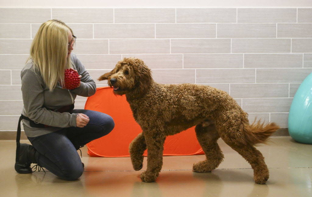 Receptionist and trainer Christia Combs goes through enrichment activities with Cooper, a goldendoodle, at Henderson Pet Resort in Henderson on Tuesday, Jan. 9, 2018. Chase Stevens Las Vegas Revie ...