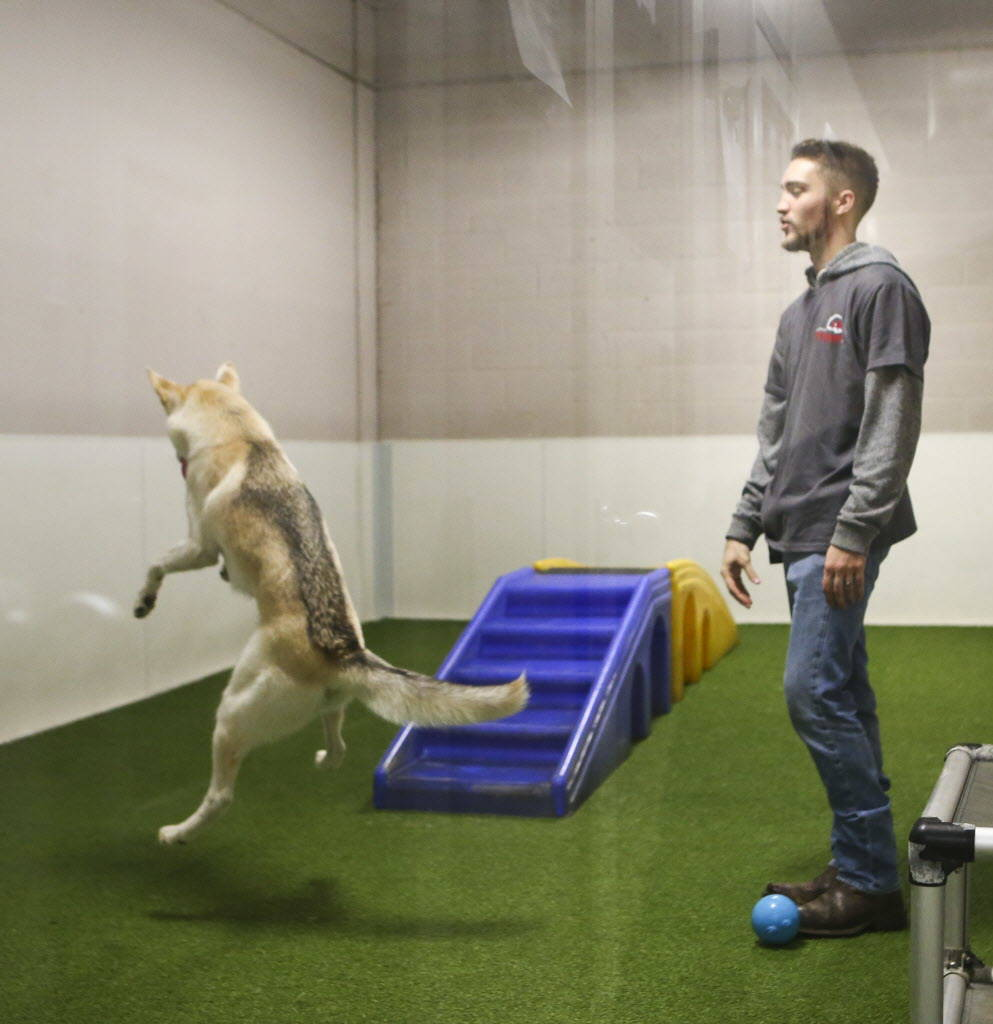 Pet care counselor Brad Launius in an activity room with a dog at Henderson Pet Resort in Henderson on Tuesday, Jan. 9, 2018. Chase Stevens Las Vegas Review-Journal @csstevensphoto
