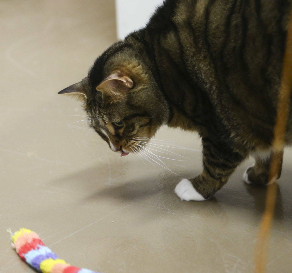 Cat, a tabby cat, plays with a toy in the boarding room area at Henderson Pet Resort in Henderson on Tuesday, Jan. 9, 2018. Chase Stevens Las Vegas Review-Journal @csstevensphoto
